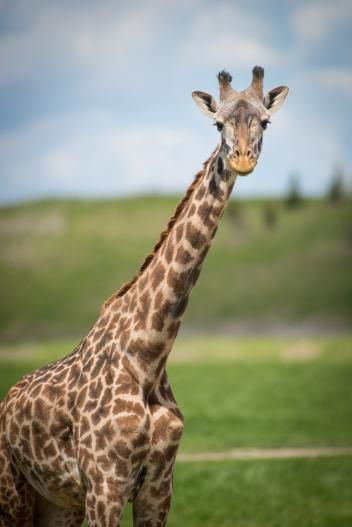 Columbus Zoo Celebrates 1st Giraffe Birth In Nearly 20 Years Life Culture News Richlandsource Com