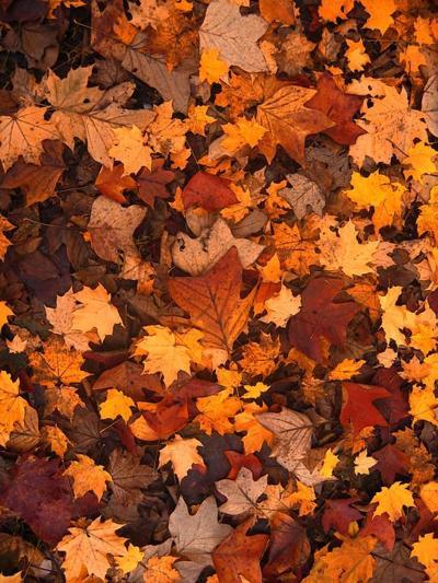 mansfield leaf collection opens oct 29 leaf pick up begins nov 5