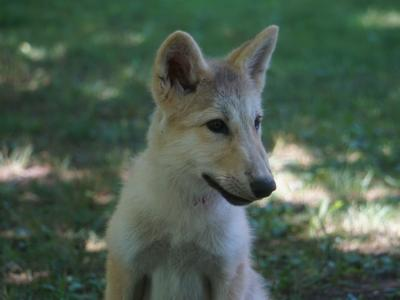 Wild wolves in Ohio no longer exist, but do wolf-coyote hybrids roam the Midwest?