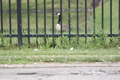 Open Source: Did you know geese are protected animals in Ohio?