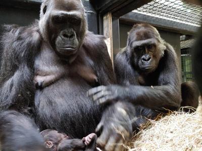 columbus zoo gorilla birth