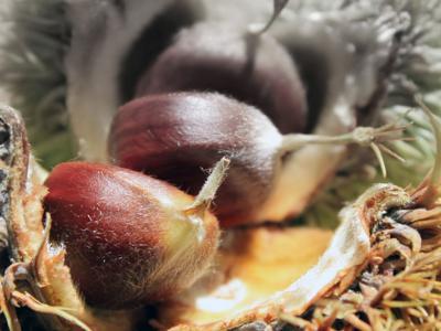 Native Son: The American Chestnut mystery at Malabar Farm