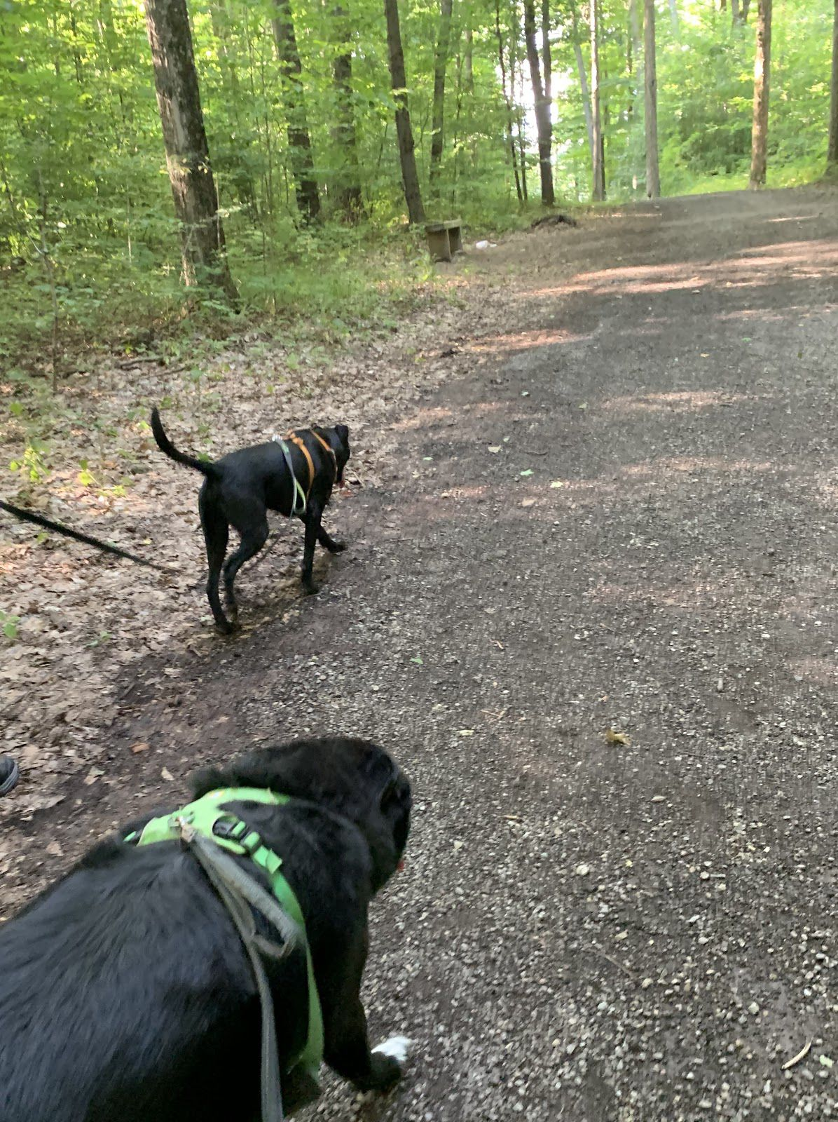 Good puppies on a walk in the woods