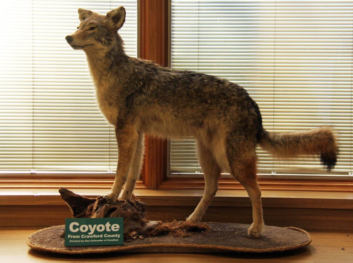 Stuffed coyote