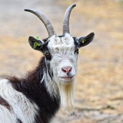 Richland Chronicles Chapter 12: Letter From a Goat