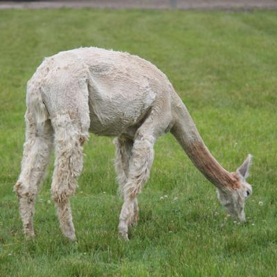 National Alpaca Days event slated for Sept. 26 & 27