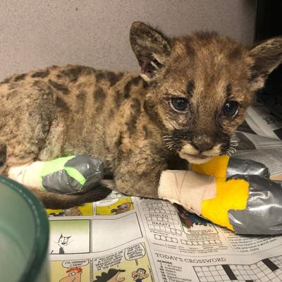 Mountain lion cubs rescued from California wild fires bound for Columbus Zoo
