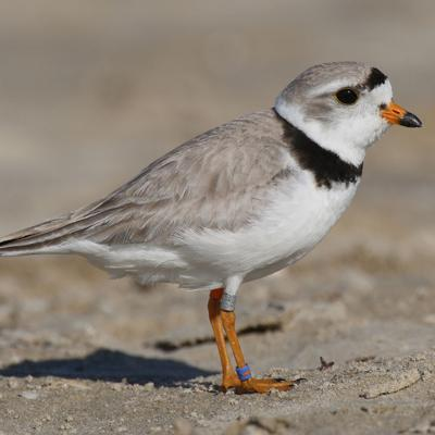 Federally endangered Piping Plover nest discovered at Maumee Bay