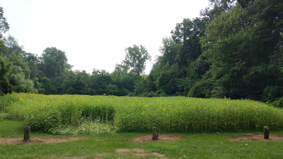 Burton Park sunflower field.jpg