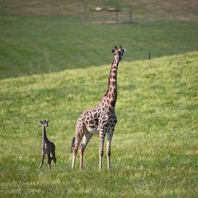 Endangered Masai giraffe calf born at The Wilds