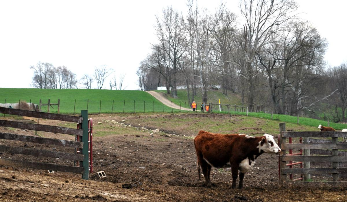 Malabar Farm cow