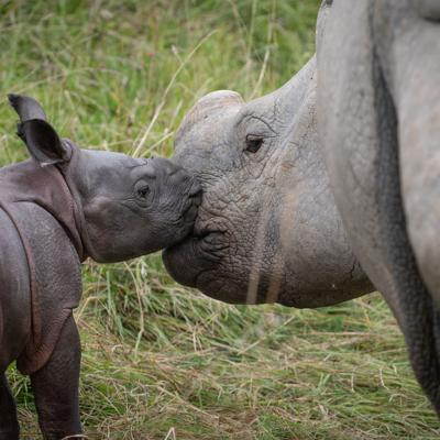 The Wilds welcomes greater one-horned rhinoceros calf