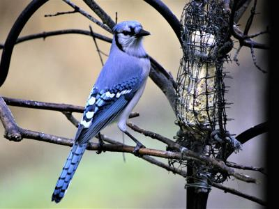 Combating mysterious bird disease: Wildlife officials advise residents to clean feeders, baths