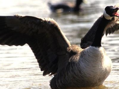 Canada geese are beautiful but complicated for Ohio landowners