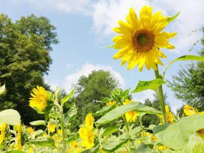 Sunflowers bloom in Bellville, Burton Park