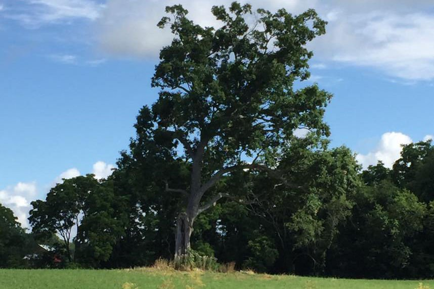 The historic Shawshank Redemption oak tree days before it fell