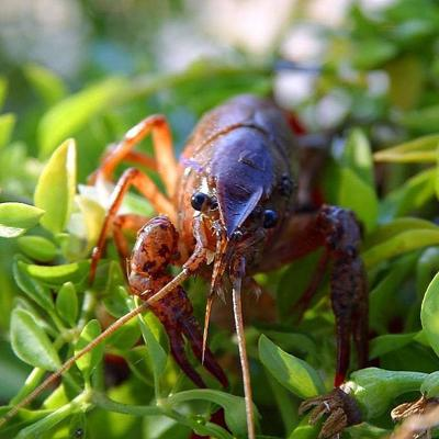 Mohican Crawdad Derby set for Sept. 7 at Mohican State Park