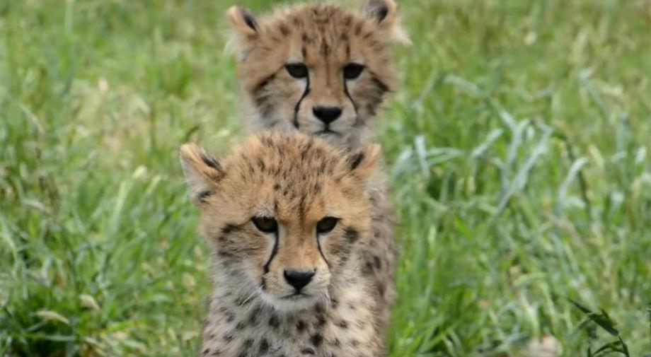 VIDEO: Public can now see 7 cheetah cubs at Metro Richmond Zoo