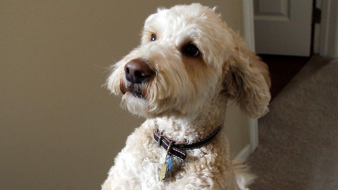 The creator of the labradoodle says he made 'Frankenstein's monster'