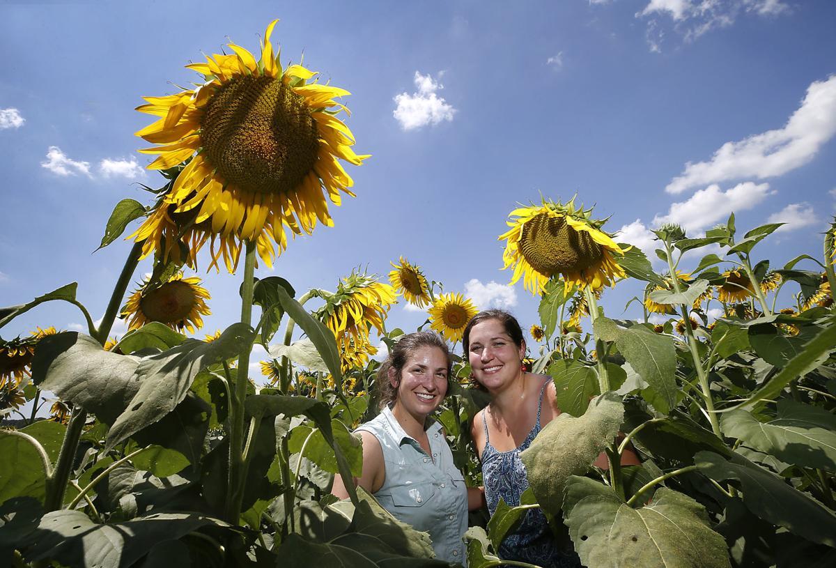 PHOTOS: Alvis Farms to host Sunflower Festival | Richmond ...