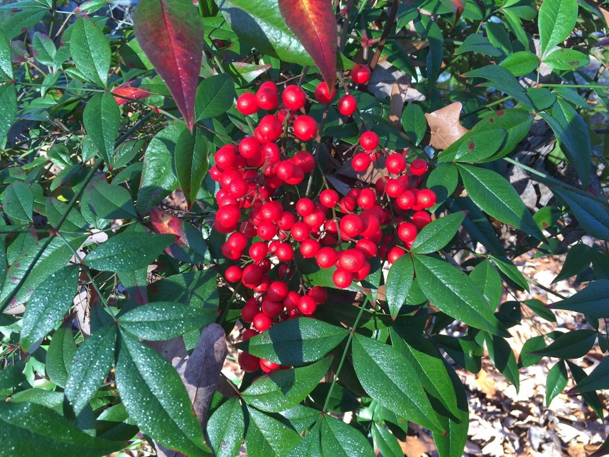 Gardening Q A With Richard Nunnally Shrubs With Red Berries