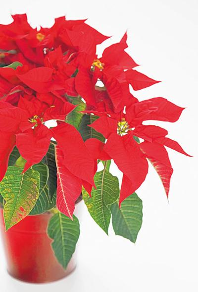 The Basics Of Poinsettia Plant Care Countdown To Christmas