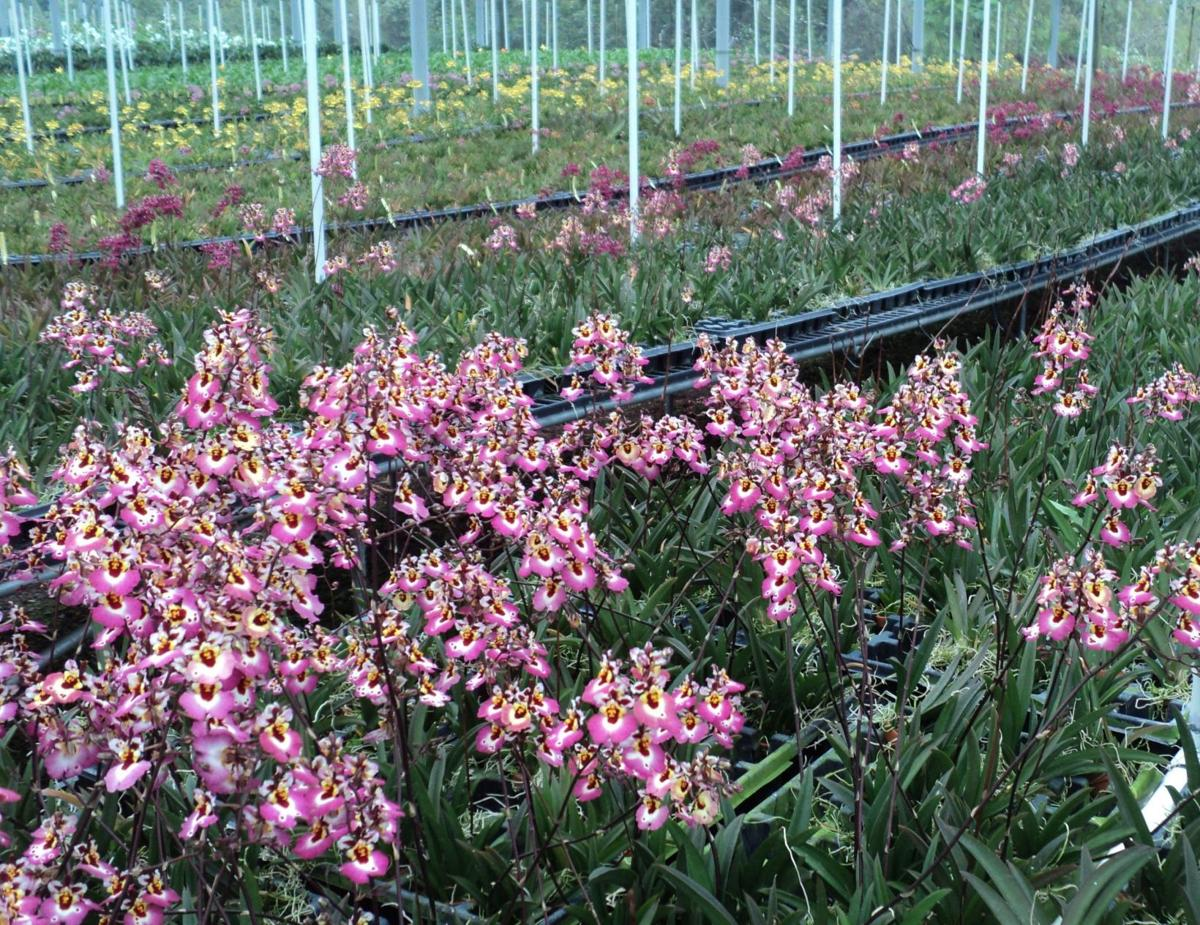 Orchids Hawaiian Farms Buried In Lava Means Trouble In Paradise And