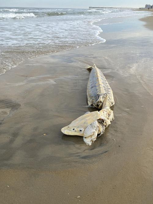 Atlantic Sturgeon-Virginia Beach