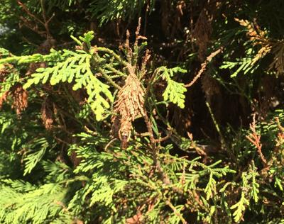 Gardening Q&A: Preventing bagworms without harming trees