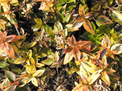 Gardening Qa Pruning Advice For Azaleas Spring And Kaleidoscope