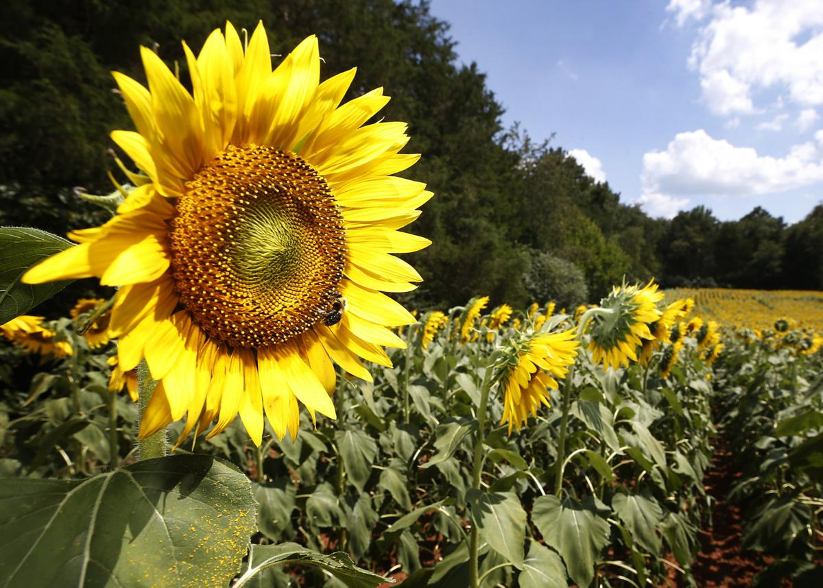 Insta worthy Sunflower Festival at Alvis Farms in Goochland this