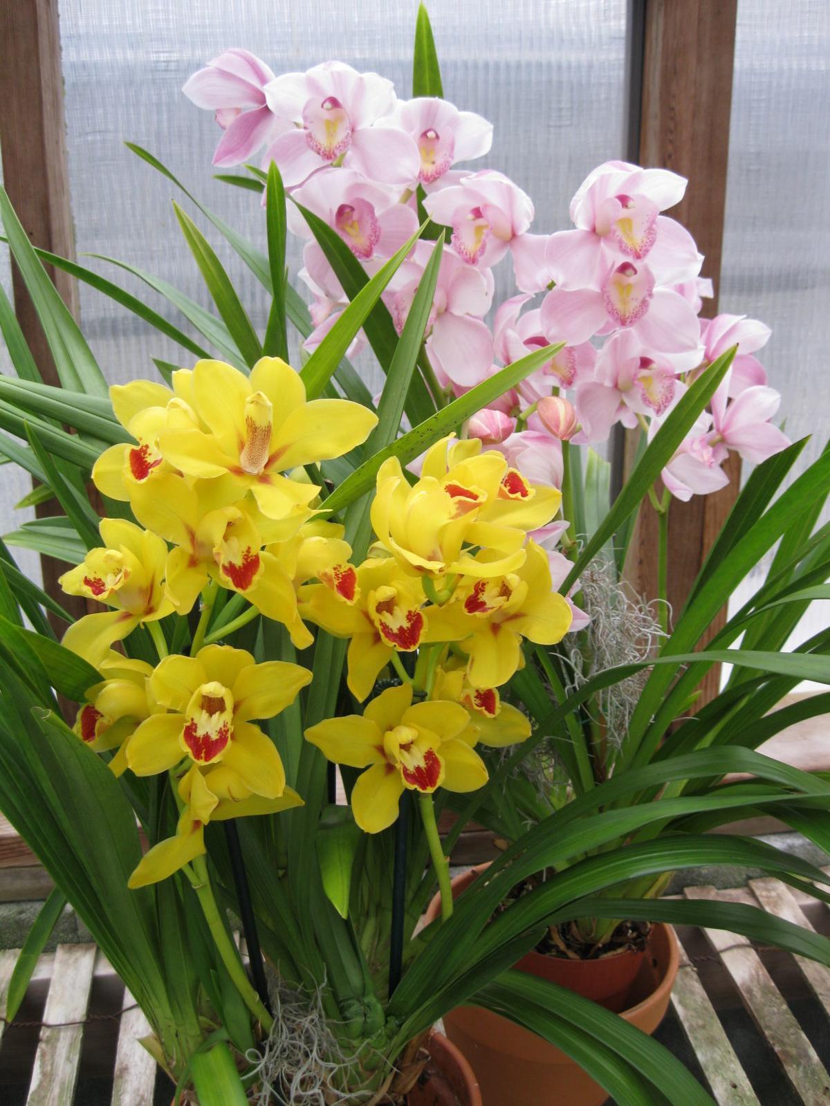 Orchids: The Cymbidium challenge | Home and Gardens | richmond.com