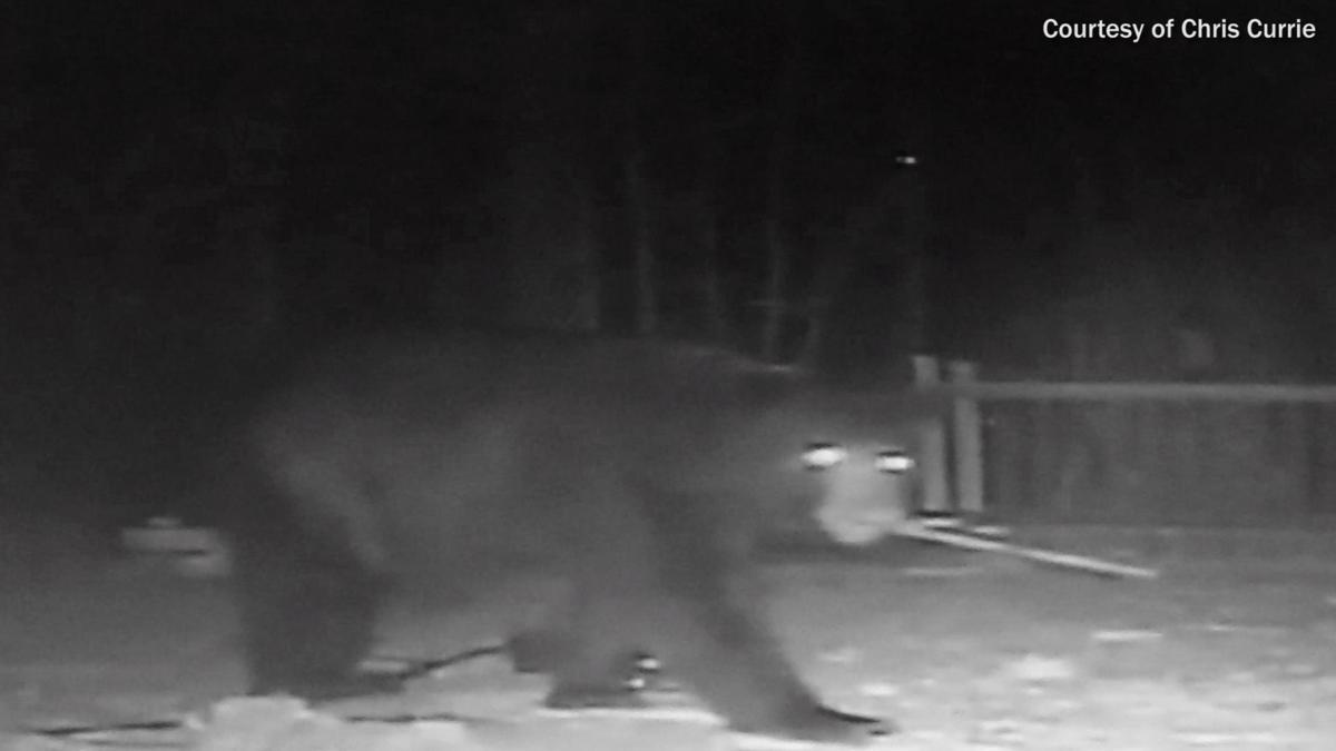 video shows large bear destroying bird feeders in powhatan