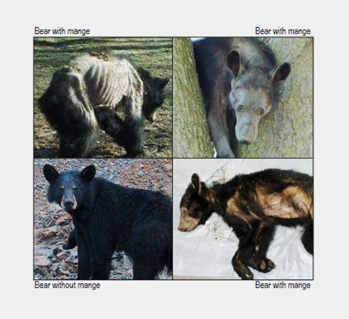 Bear mange