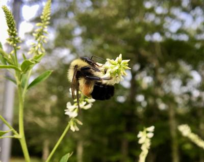 Bumblebee_p01