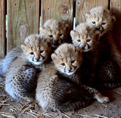 Cheetah Cam cubs get their names
