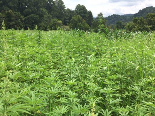 As Virginia's industrial hemp market takes off, police have no quick