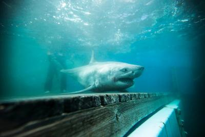 10-foot shark lurking off Outer Banks may be afraid to cross forbidding sea 'barrier'