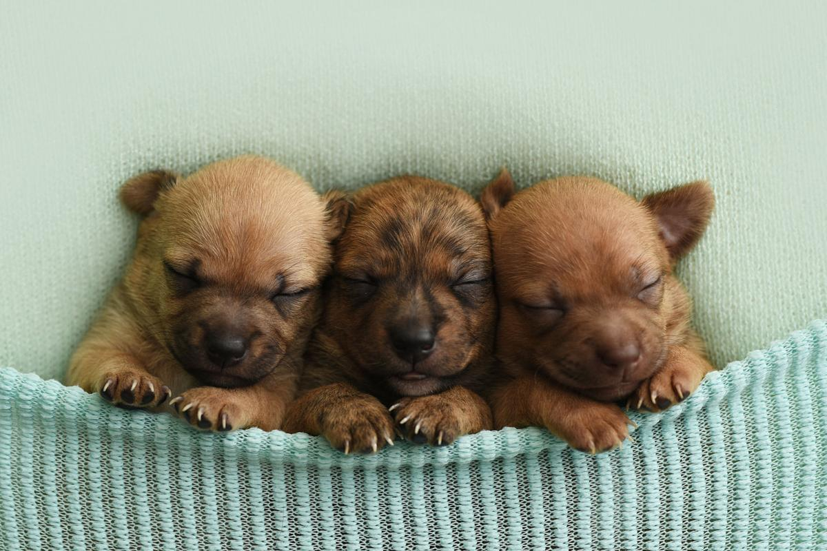 PHOTOS: Newborn chihuahua puppies | Photos | richmond.com