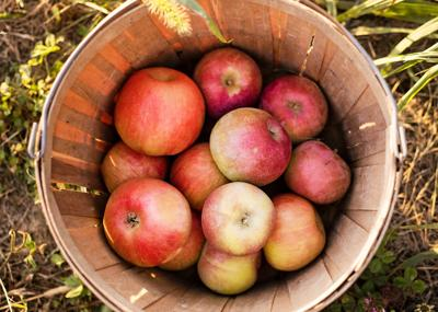 Magnificent or mealy: Which apple should you pick?