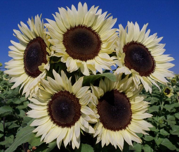 gardening hybrid technology leads to new sunflower
