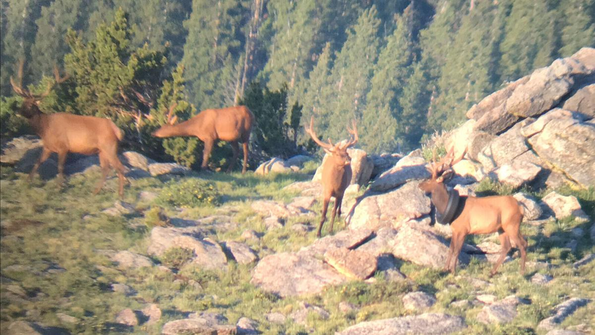 After several attempts, wildlife officers remove tire that was around an elk's neck for over two years