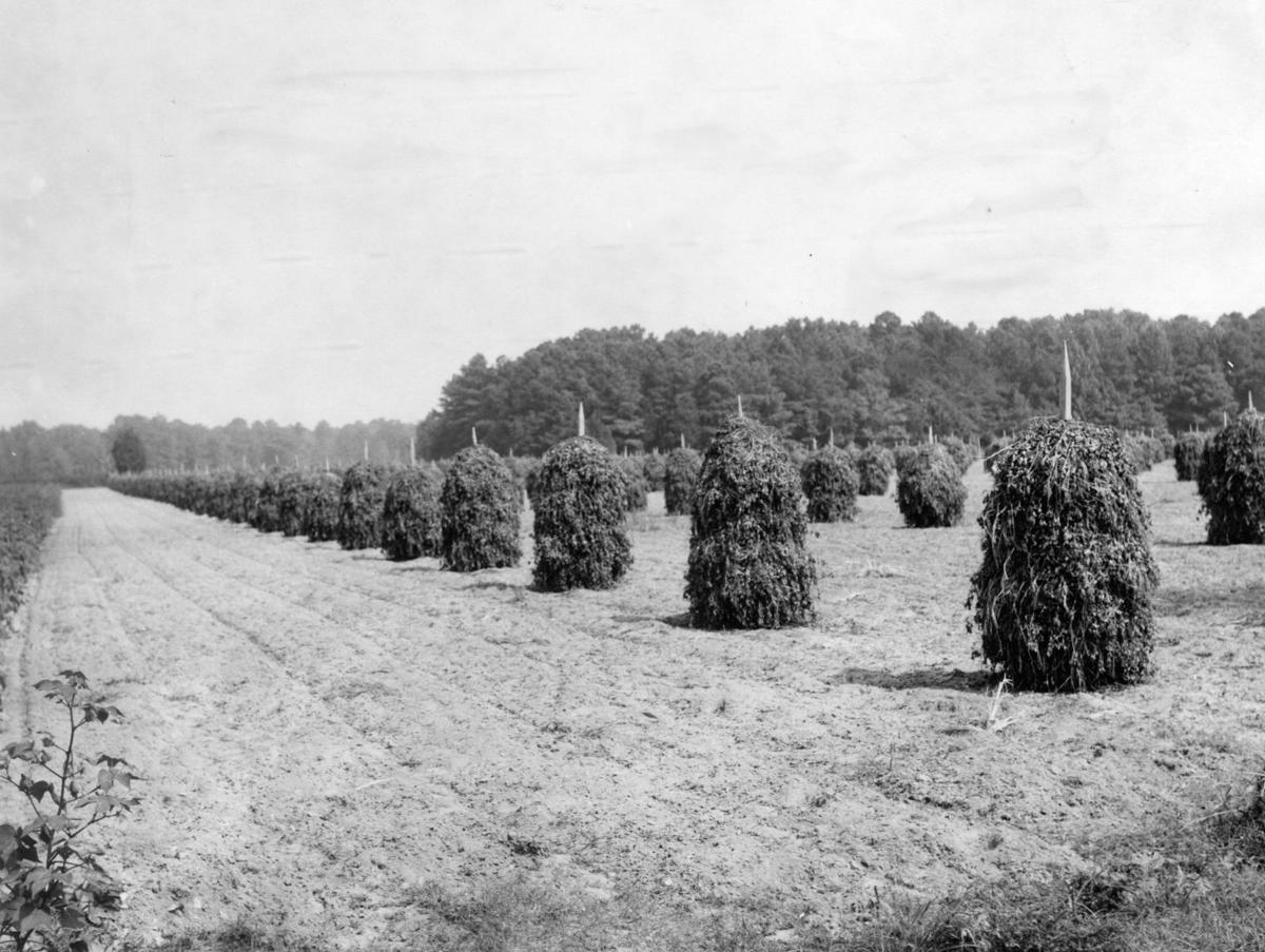 From The Archives Scenes From Virginia Peanut Farms From The Archives Richmond Com