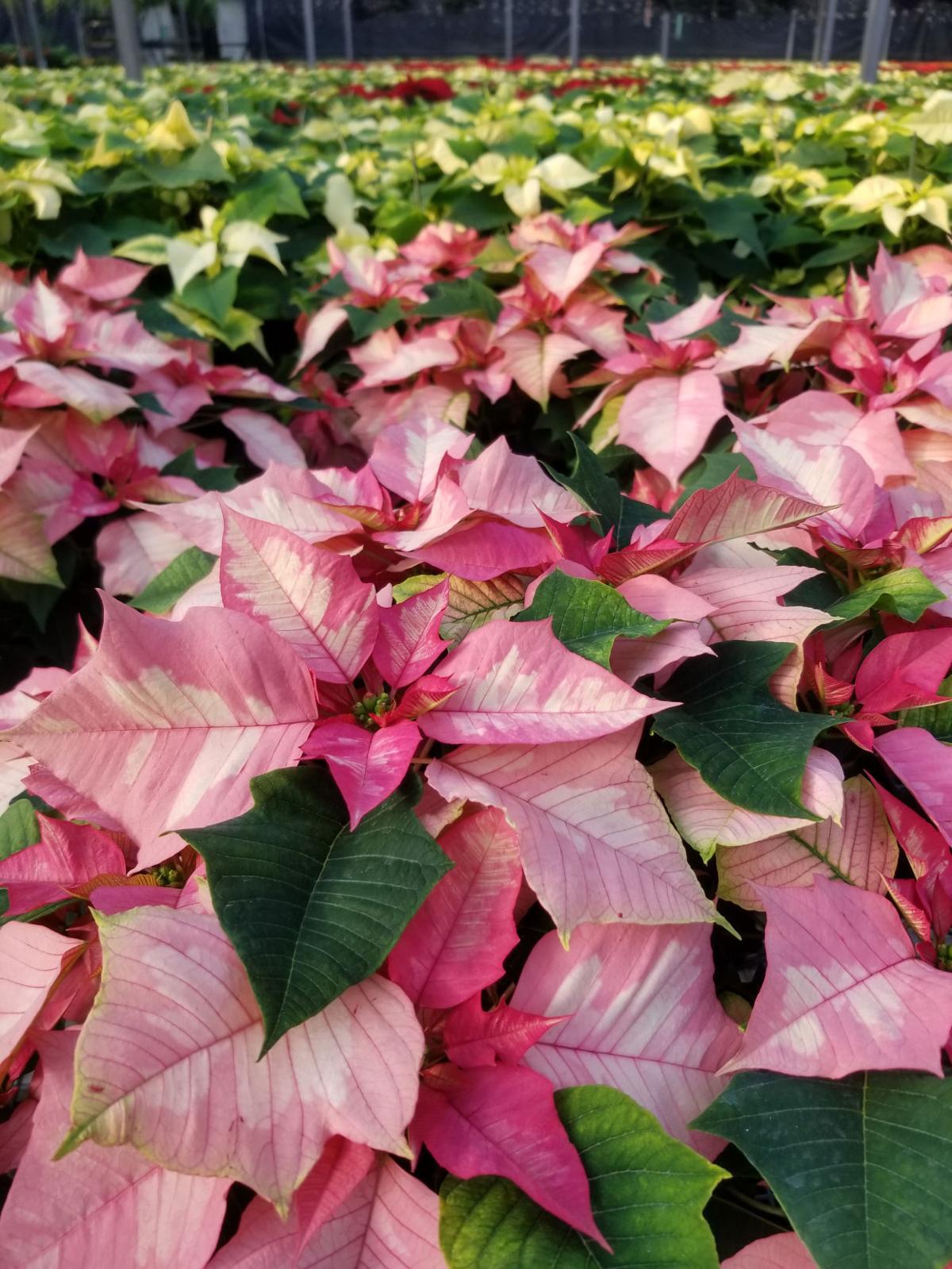 Poinsettias Travel Far To Bring Holiday Cheer Richmond Com