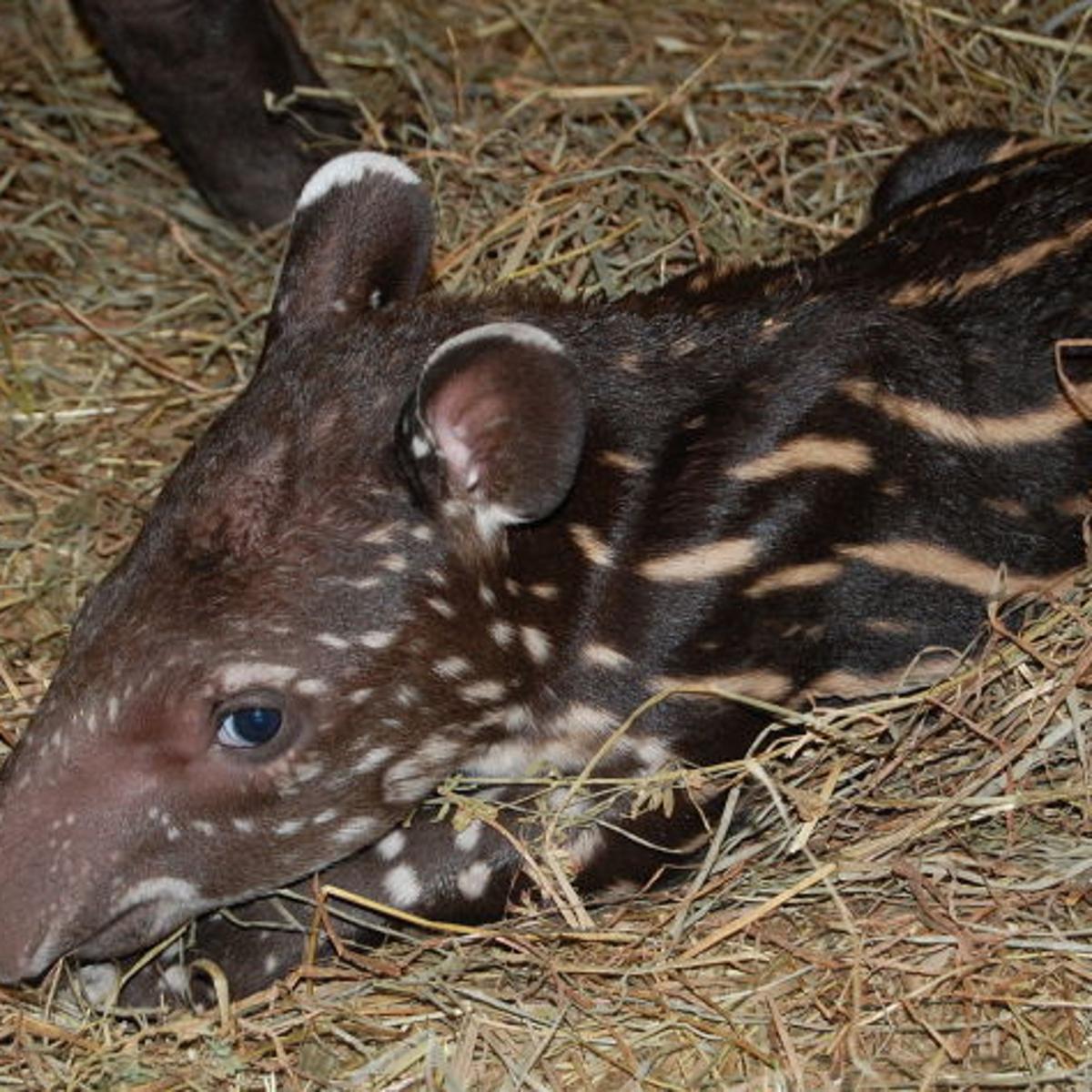 Baby Brazilian tapir on display at Richmond zoo | Richmond Local News |  richmond.com