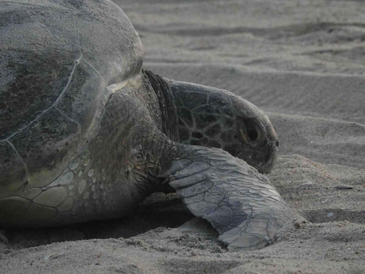 Green sea turtle found near Rodanthe