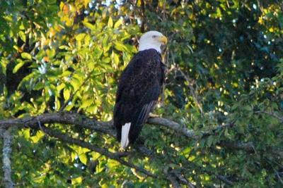 Discover the James: Bald Eagle Tours
