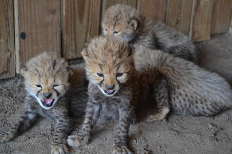 Update Live Baby Cheetah Cam Added At Metro Richmond Zoo