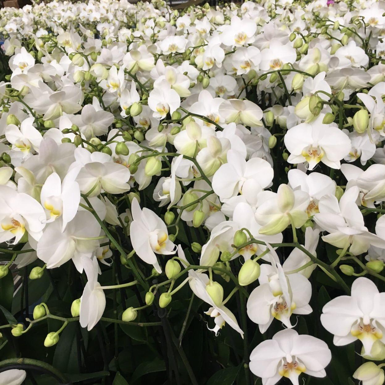 Orchids The No 1 Reason Phalaenopsis Don T Bloom Richmond Com