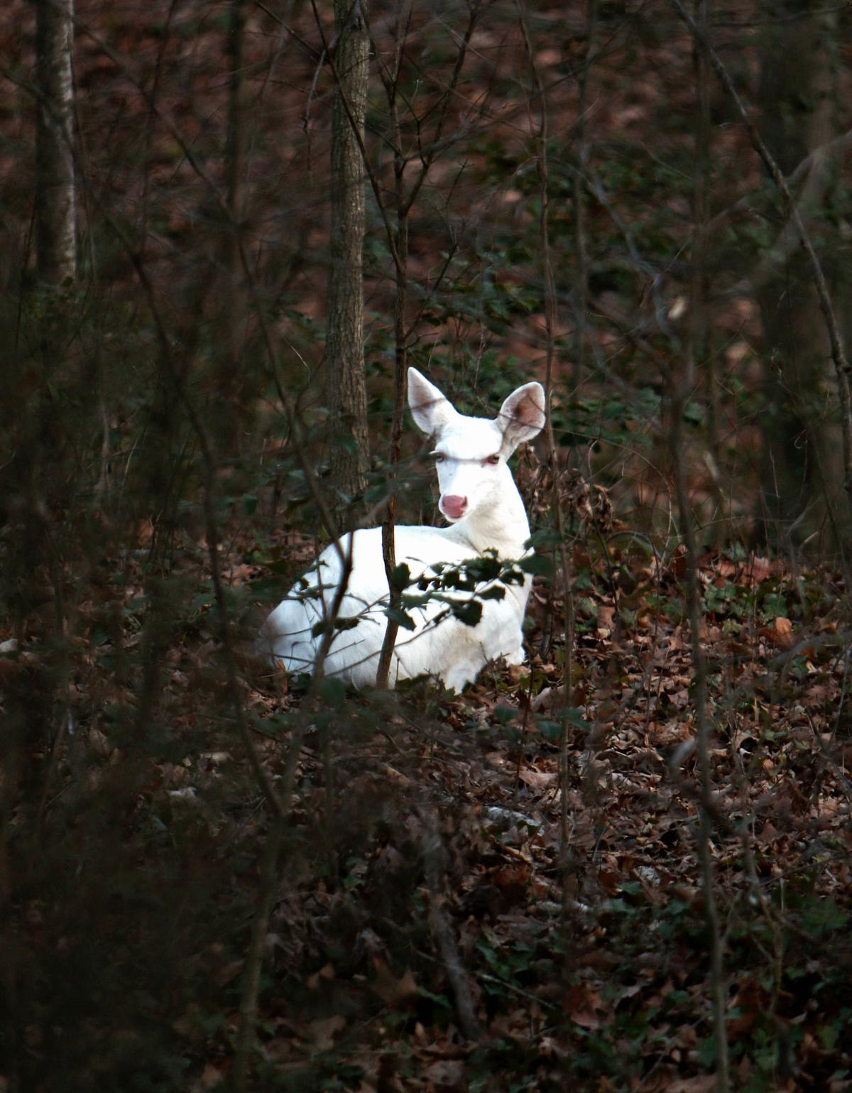 White Deer Seen Around Charlottesville Are A Beautiful